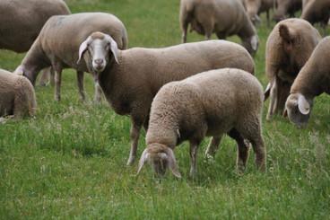 mouton merino laine naturelle